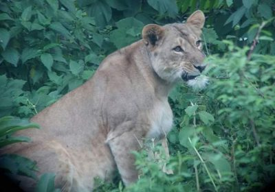 Abbysinian_ Black manned_ Lion female _in _Bale _Mountains_ National_ Park
